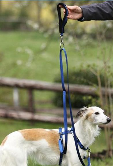 A royal blue tellington ttouch harmony leash and handle on a white and tan saluki dog