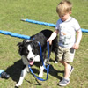 A preschooler walls a border collie with the tellington ttouch harness and leash combo