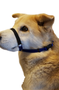 A dog wears a Tellington TTouch calming band.