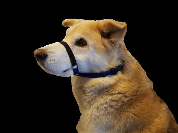 A dog wears a Tellington TTouch calming band.