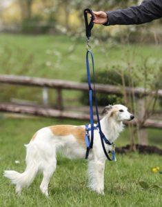 Harness, leash and sliding handle on a saluki dog.