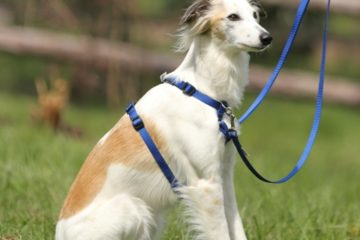 A dog wears a Tellington TTouch Harmony Harness