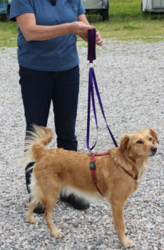 The Tellington TTouch Harmony Harness and Leash system on a dog.